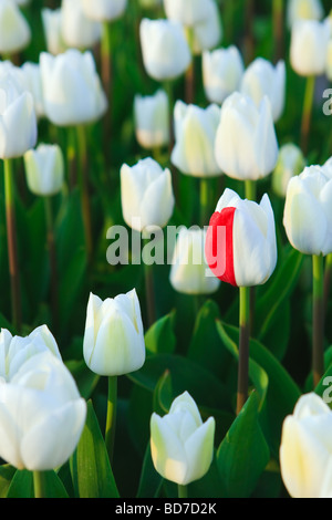 DNA failure in the Tulip Fields North Holland Netherlands - Stock Photo