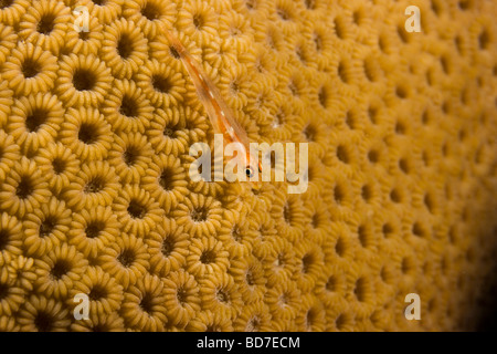Coral polyps and tiny whip coral goby (Bryaninops yongei) - Stock Photo