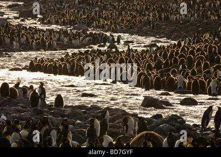 King Penguins Aptenodytes patagonicus in breeding colony St Andrews Bay South Georgia Antarctica - Stock Photo