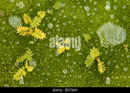 Water droplets on moss Grytviken South Georgia Antarctica - Stock Photo