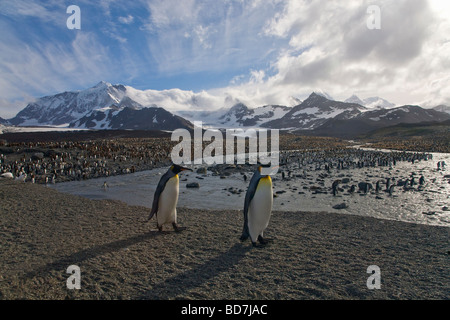 King Penguins Aptenodytes patagonicus St Andrews Bay South Georgia Antarctica - Stock Photo