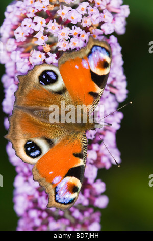 Peacock butterfly (Inachis io) feeding on a Buddleia (Buddleja davidii) flower spike - Stock Photo