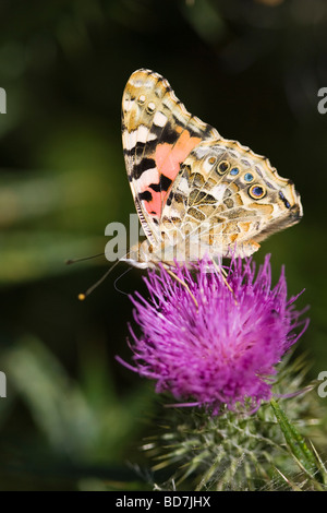 Underwing of a Painted Lady butterfly (Cynthia cardui) feeding on a purple Spear thistle (Cirsium vulgare) flower - Stock Photo