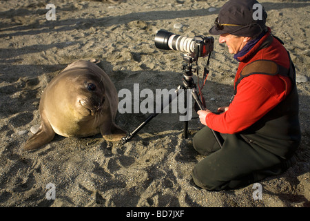 Southern elephant seal pup Mirounga leonina checks out wildlife photographer on beach St Andrews Bay South Georgia - Stock Photo