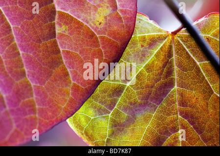 Cercis canadensis 'Forest pansy'. Eastern Redbud tree leaves - Stock Photo