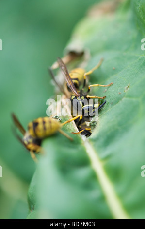 Vespula vulgaris. Wasps eating rhubarb leaves in an English garden. Gathering plant material for nest building - Stock Photo