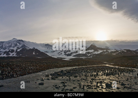 King Penguin Aptenodytes patagonicus breeding colony St Andrews Bay South Georgia Antarctica - Stock Photo