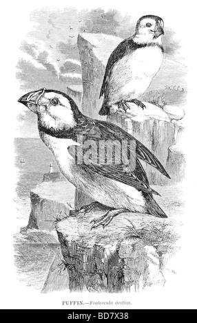puffin fratercula arctica - Stock Photo