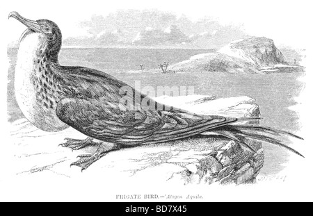 frigate bird atagen aquila - Stock Photo
