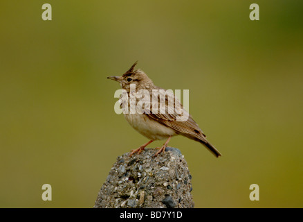 Crested Lark Galerida cristata  perched on branch tarifa andalucia spain - Stock Photo