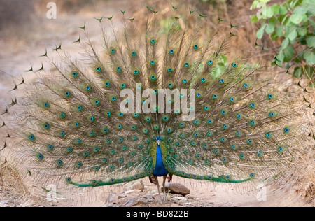 Indian Peafowl dancing in the mid way of jungle road at Ranthambore Tiger Reserve, Rajasthan India. (Pavo cristatus) - Stock Photo