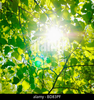 Sun glinting through Beech tree and leaves in spring. ( Fagus Sylvatica ) - sunlight through trees - photosynthesis - Stock Photo