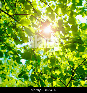 Sun glinting through Beech leaves in spring. ( Fagus Sylvatica ) - photsynthesis nature background. - Stock Photo