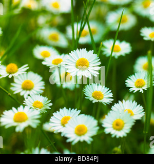 Common Daisies, Lawn Daisies or English Daises full frame background. ( Bellis Perennis ) - Stock Photo
