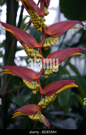 Heliconia Collinsiana Var Collinsiana Heliconiaceae - Stock Photo