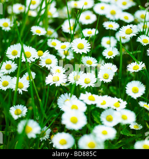 Common Daisies, Lawn Daisies or English Daises full frame nature background. ( Bellis Perennis ) - overgrown wild lawn with Daisy flowers - wildflower