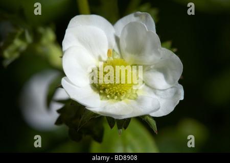 flower of the loran variety of garden strawberry fragaria x ananassa growing in a garden in the uk