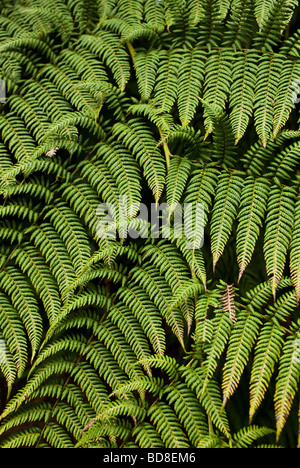 Tree Fern (Cyatheaceae) at Monteverde Cloud Forest Reserve in central Costa Rica. - Stock Photo