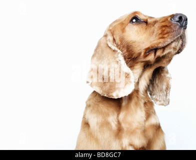dog looking upwards off-camera - Stock Photo