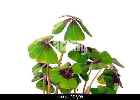 Glücksklee four leafed clover 14 - Stock Photo