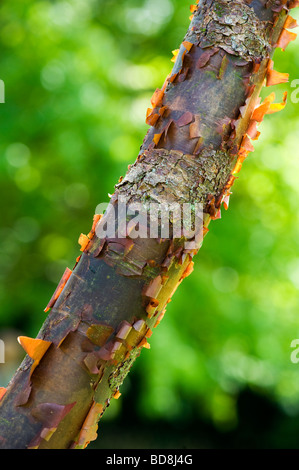 Acer griseum. Paperbark maple tree with peeling bark - Stock Photo
