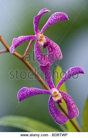 orchid | orchidée - Stock Photo