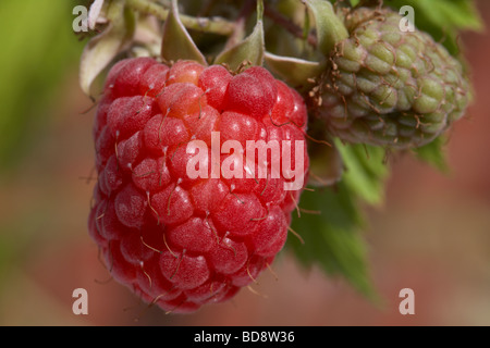 raspberry rubus idaeus european raspberries various stages growing on a bush in a garden in the UK - Stock Photo