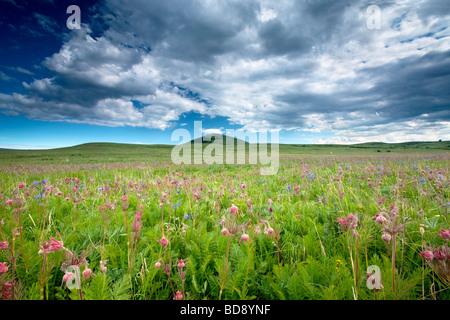 Zumwalt Prairie with mostly Prairie Smoke Geum triflorum wildflowers Zumwalt Prairie Preserve Oregon - Stock Photo