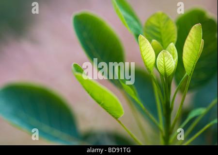 Cotinus coggygria 'Golden Spirit' . Smoke bush 'Golden Spirit' leaves - Stock Photo
