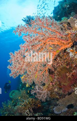 Scuba diver in philippine coral gardens, Cabilao, Philippines - Stock Photo