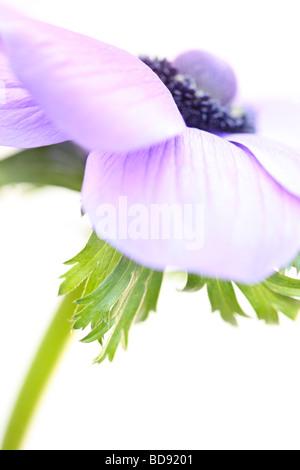 soft and romantic anemone still life on white fine art photography Jane Ann Butler Photography JABP529 - Stock Photo