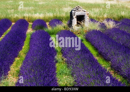 Lavender fields near Banon, Provence, France - Stock Photo