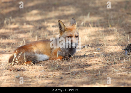 Male Red Fox Vulpes Vulpes Resting in the Sun. - Stock Photo