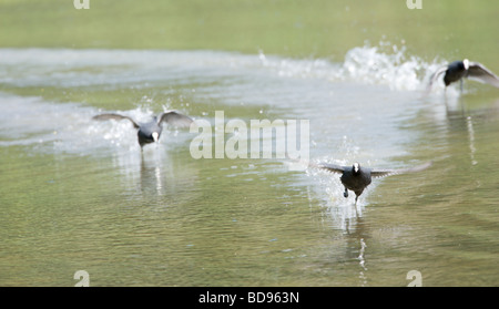Three Coot Fulica atra running on water during territorial argument - Stock Photo
