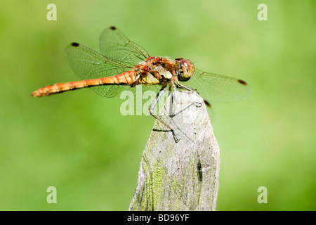 Profile of a brown and yellow dragonfly resting on a mossy fence post - Stock Photo