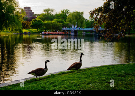 CANADIAN GEESE on the shore of the LAGOON which is a small lake in the BOSTON COMMON BOSTON MASSACHUSETTS