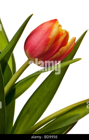 yellow and red tulips isolated on a white background - Stock Photo