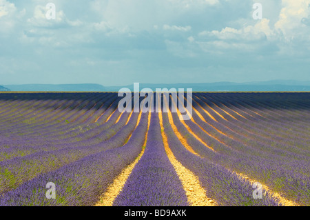 Lavender field Provence France - Stock Photo