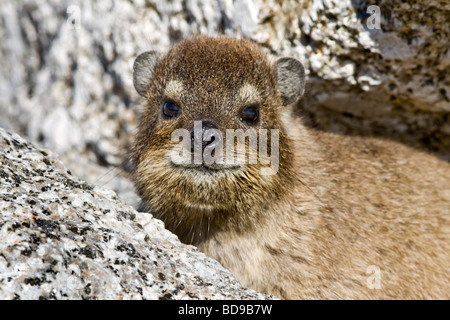 Rock dassie on Table Mountain, Cape Town, South Africa - Stock Photo