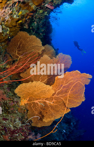 Big gorgonian sea fans and scubadiver, Philippines - Stock Photo