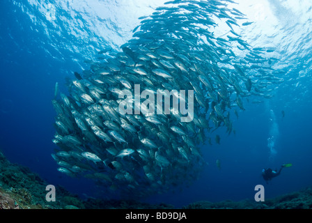 Schooling big eye jackfish and scuba diver, Tubbataha, Philippines - Stock Photo