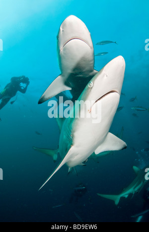 Black tip shark (Carcharhinus limbatus), Aliwal Shoal, South Africa - Stock Photo