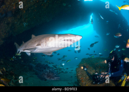 Ragged tooth shark or Sand tiger (Carcharias taurus), Aliwal Shoal, South Africa - Stock Photo