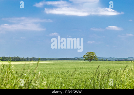 field of green wheat and single round tree. Spring in Charente Maritime France - Stock Photo