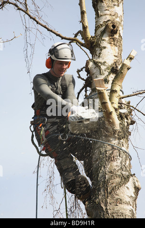 Young Danish forester in full timber felling gear felling a tall birch tree with his power chain saw in Denmark, - Stock Photo