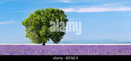 Tree in a lavender field Valensole plateau, Provence, France - Stock Photo