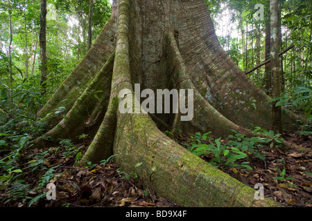 TROPICAL RAINFOREST interior showing the buttress roots of the Silk Cotton tree (Ceiba pentandra) Kanuku mountains, - Stock Photo
