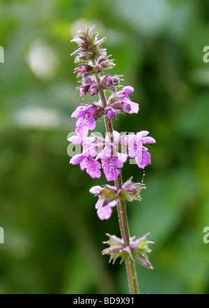 Marsh Woundwort, Stachys palustris, Labiatae - Stock Photo