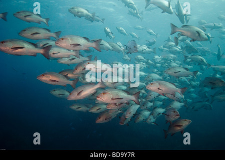 A school of of Red or Twinspot Snapper swims by the photographer. - Stock Photo