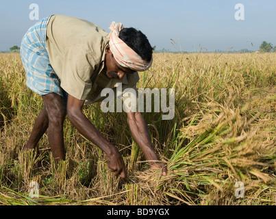 Man harvesting rice in a field north of Madurai, Tamil Nadu, India - Stock Photo